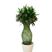 富贵竹笼-富贵吉祥 大型绿色植物室内花卉好养耐阴绿植大件办公室 高1.4-1.5米瓷盆