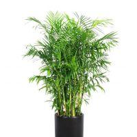 夏威夷竹-文雅清秀 凤尾竹大盆栽室内办公室居家花卉植物 高1.9-2.0米瓷盆