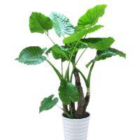 滴水观音-清秀之美 大型植物净化空气室内绿植办公室客厅阳台绿化 海芋 高1.6-1.7米瓷盆