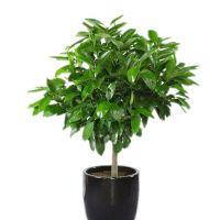 平安树-象征平安如意 室内客厅办公室植物盆景大型绿植 高1.4-1.5米瓷盆