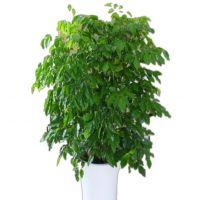 绿宝树-树姿优雅 客厅室内大型植物办公室家庭吸甲醛绿植花卉盆景 多杆高1.5-1.6米瓷盆