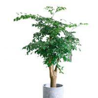 幸福树-幸福生旺 大型室内观叶植物客厅办公室绿植盆景 高1.8-1.9米瓷盆