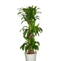 巴西木-净化室内空气 幸运木盆栽花卉植物室内绿植好养活四季土培带叶子净化空气 1.6-1.7米