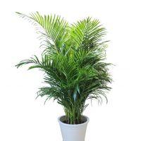 散尾葵-缓解视觉疲劳 室内客厅大型绿植净吸甲醛四季办公 1.7-1.8米