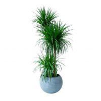 龙血树-美化环境办公室植物好养净化空气吸甲醛防辐射大型绿植 高1.3-1.5米