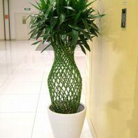 富贵竹笼-富贵吉祥大型绿植办公室客厅开运竹室内净化空气植物花卉盆景 高1.4-1.5米瓷盆