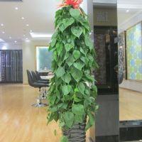 杏叶藤-净化防辐射净化空气大型绿植盆栽 高1.5-1.6米塑料盆