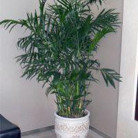 夏威夷竹-文雅清秀耐阴植物较耐寒大型室内办公室绿植 高1.9-2.0米瓷盆
