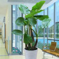 滴水观音-清秀之美大型植物净化空气室内绿植办公室客厅阳台绿化 高1.6-1.7米瓷盆