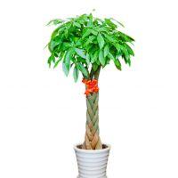 多编发财树-招财进宝步步高发财树盆栽植物室内客厅办公室开业送礼乔迁招财大绿植 1.6-1.7米