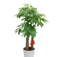 多桩发财树-招财进宝步步高发财树盆栽植物室内客厅办公室开业送礼乔迁招财大绿植 1.4-1.6米