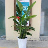 鹤望兰-四季枝叶长青大型绿植办公室客厅北欧风花卉盆景