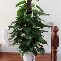 大绿萝-强效清除甲醛吸甲醛净化空气植物室内办公室大型绿植客厅卧室耐阴 1.7-1.8米