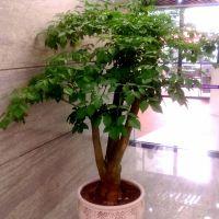 幸福树-幸福生旺型绿植客厅花卉办公室内绿化植物 高1.8-1.9米瓷盆