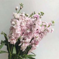 家养鲜花--粉色紫罗兰 到店取
