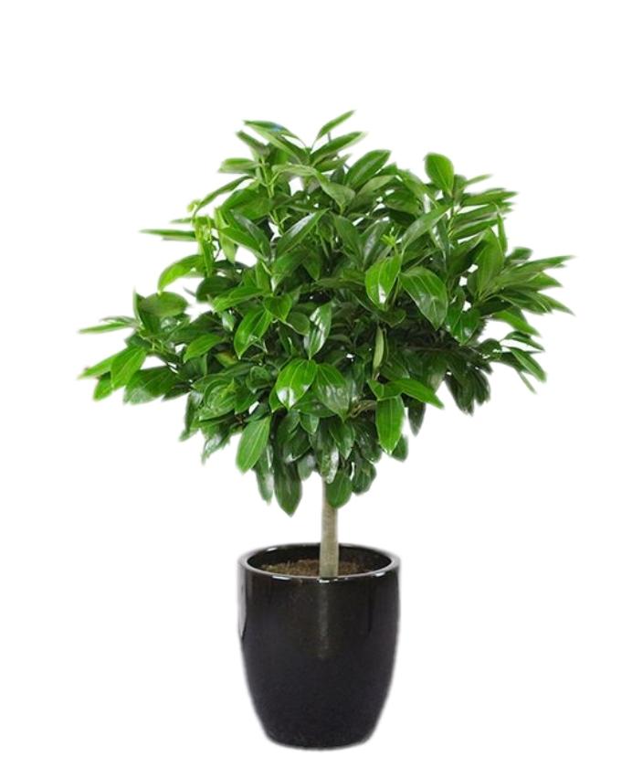 平安树-象征平安如意