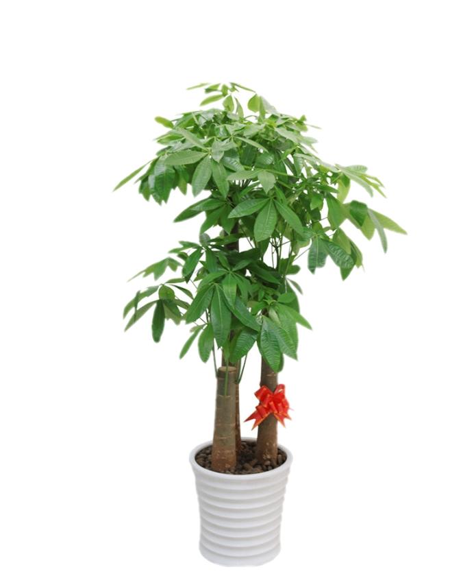 多桩发财树-寓意招财进宝