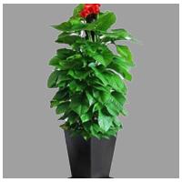 大型盆栽1.3-2.0米