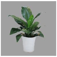 中型盆栽0.5-1.2米