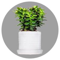 小型盆栽0.3-0.5米